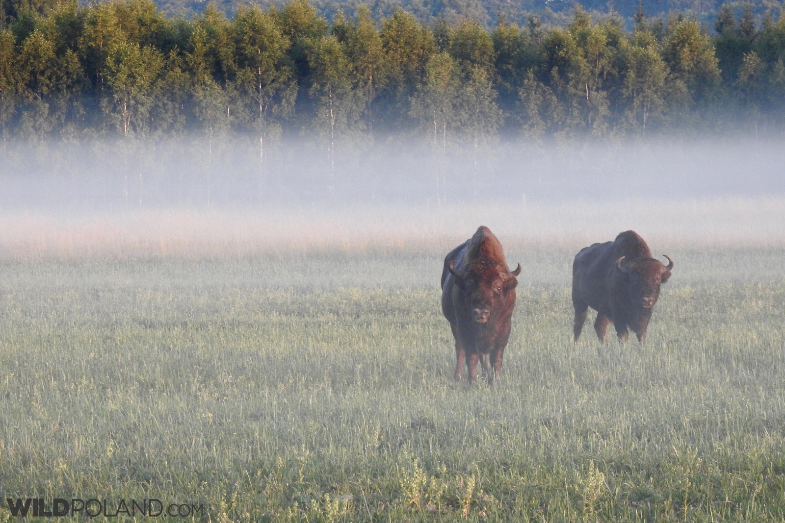 European Bison in the morning mist