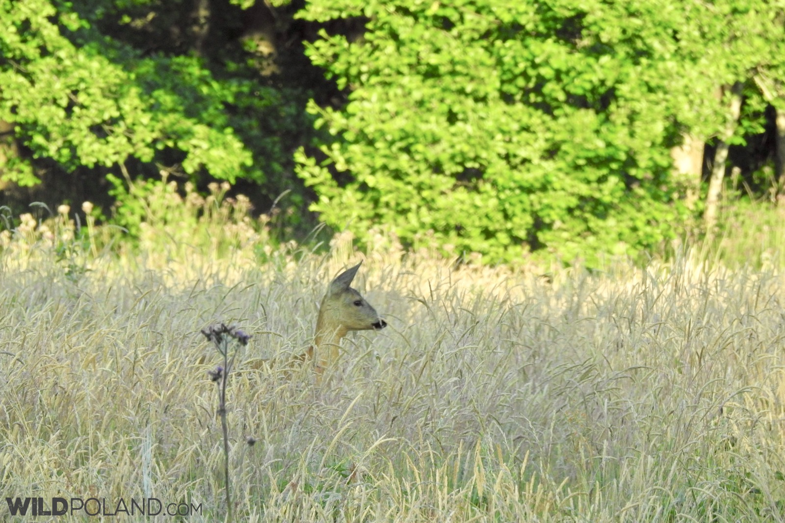 Roe Deer - well spotted in a tall grasses