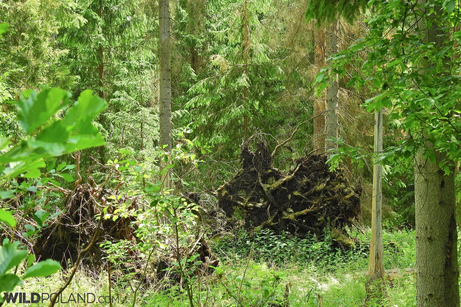 fallen trees in Wysokie Bagno Reserve