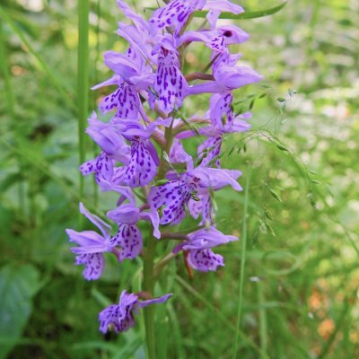 Spotted Orchid, Białowieża Forest, Photo By Marta Świtała