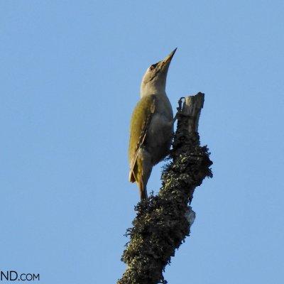 Grey-headed Woodpecker In The Białowieża Forest, Photo By Marta Świtała
