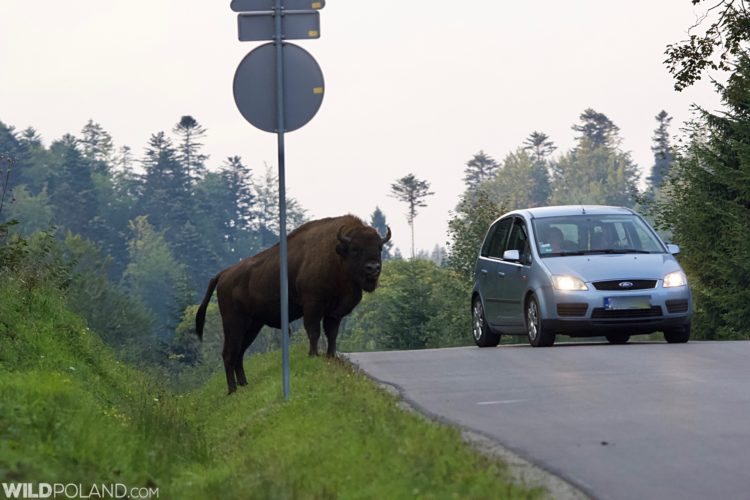 Watch Out For Bison On The Road While Driving In The Bieszczady Mts.