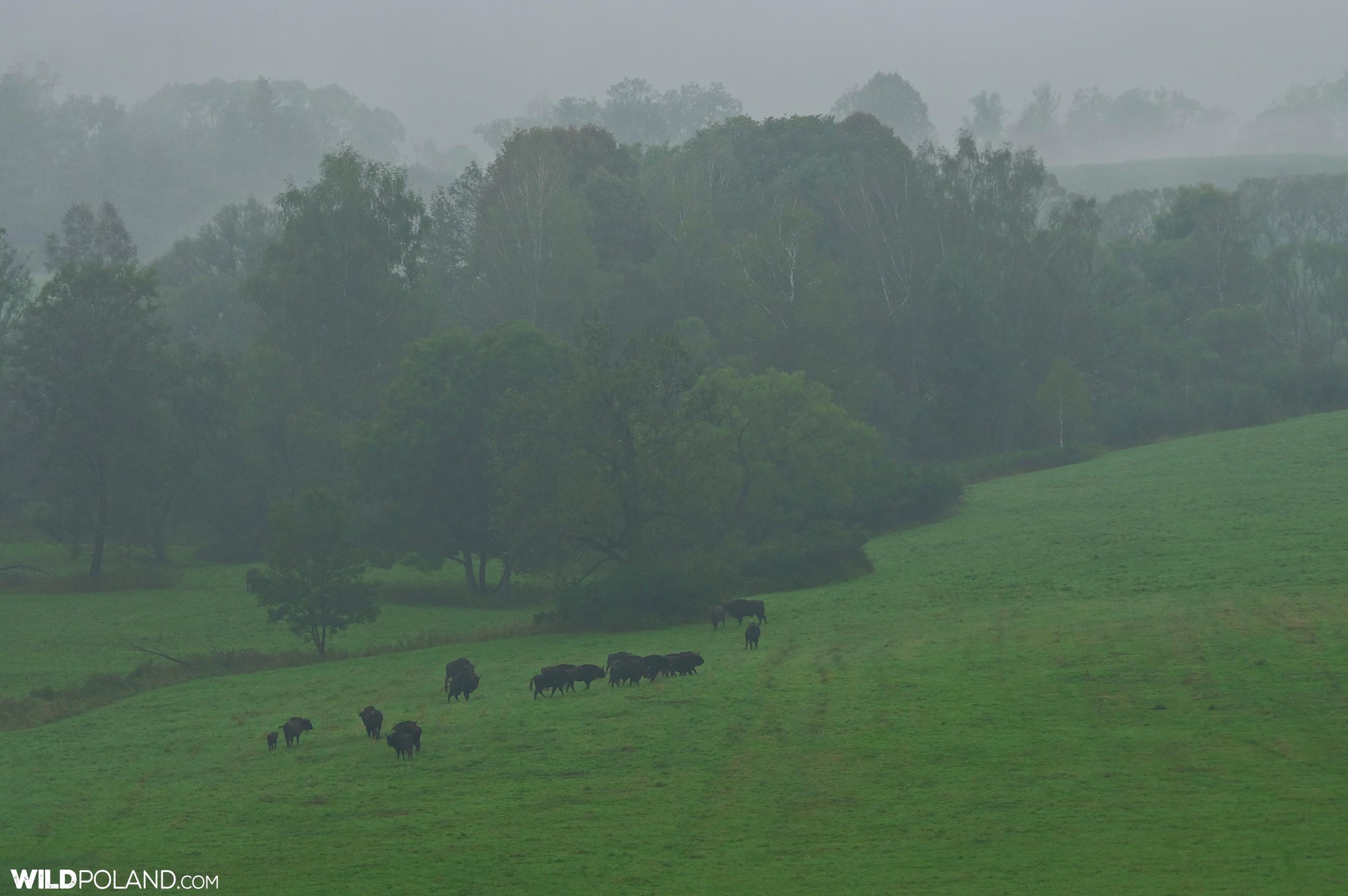 European Bison at dawn in the Bieszczady Mts, Eastern Carpathians