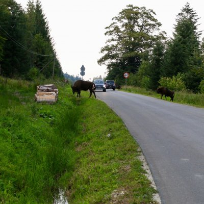 European Bison On The Road In The Bieszczady Mts, Eastern Carpathians