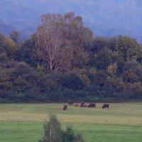 European Bison At Dusk In The Bieszczady Mts, Eastern Carpathians