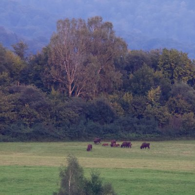 European Bison At Dusk In The Bieszczady Mts, Eastern Carpathians