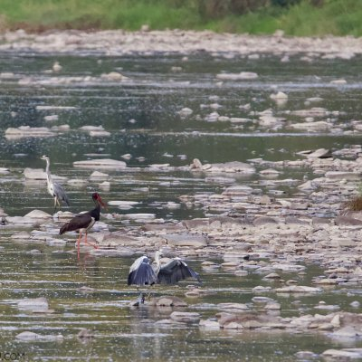 Black Stork And Grey Herons In The Bieszczady Mts, Eastern Carpathians