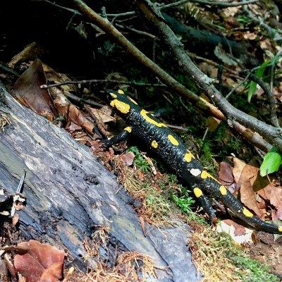 Fire Salamander In The Bieszczady Mts, Eastern Carpathians