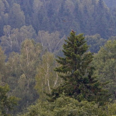 Lesser Spotted Eagle In The Bieszczady Mts, Eastern Carpathians