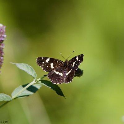 Map Butterfly In The Bieszczady Mts, Eastern Carpathians