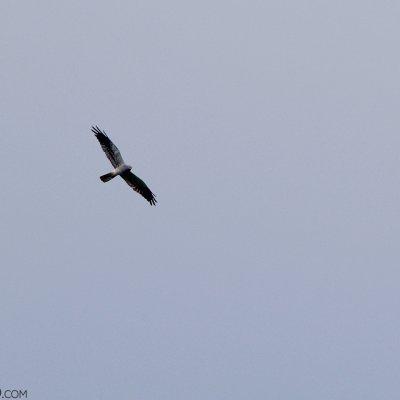 Montagu's Harrier In The Bieszczady Mts, Eastern Carpathians