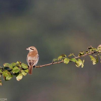 Red-backed Shrike In The Bieszczady Mts, Eastern Carpathians