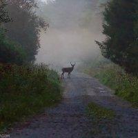 Red Deer In The Bieszczady Mts, Eastern Carpathians
