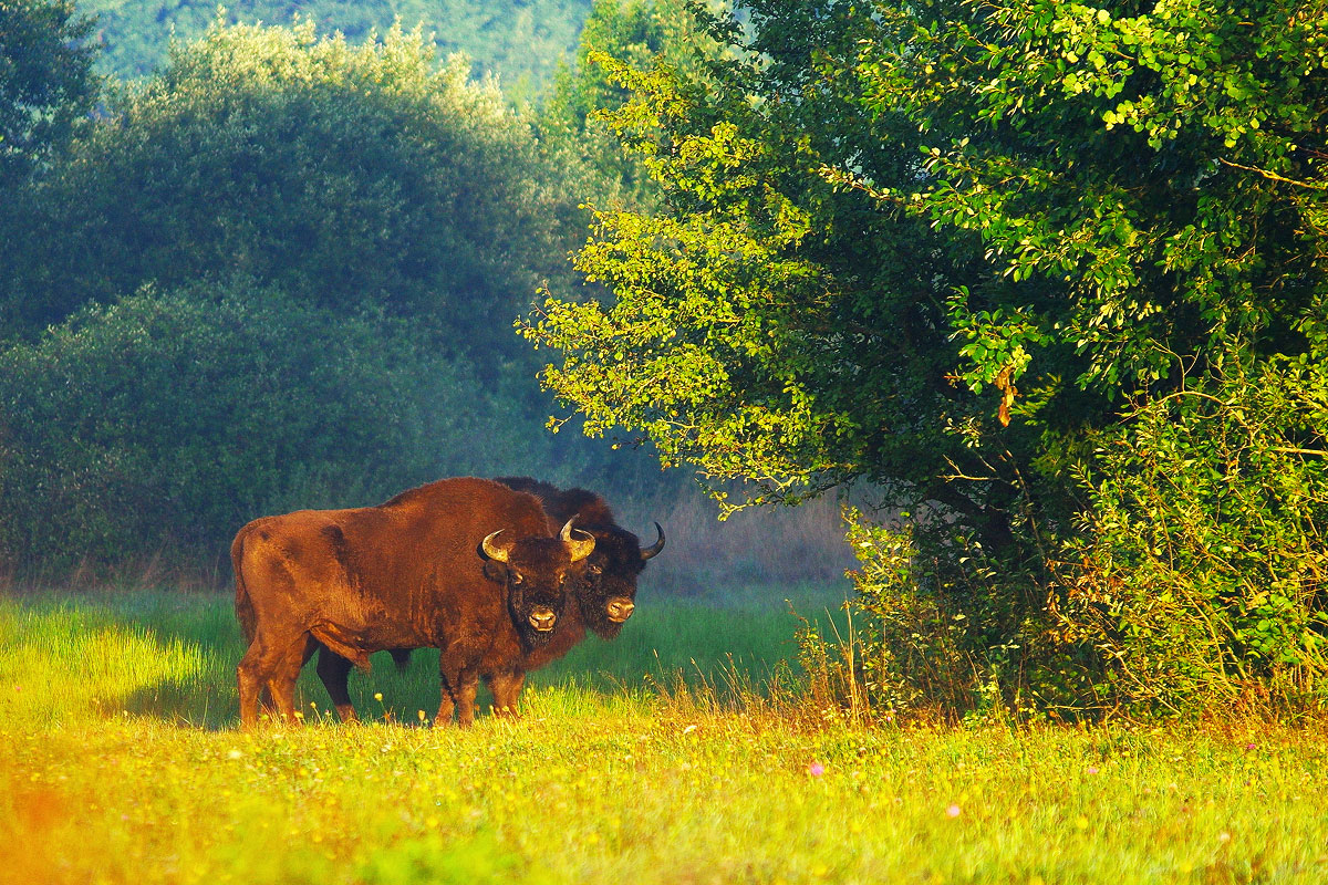 Bison in the Białowieża Forest at dawn