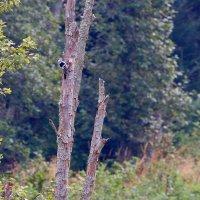 White-backed Woodpecker In The Bieszczady Mts, Eastern Carpathians