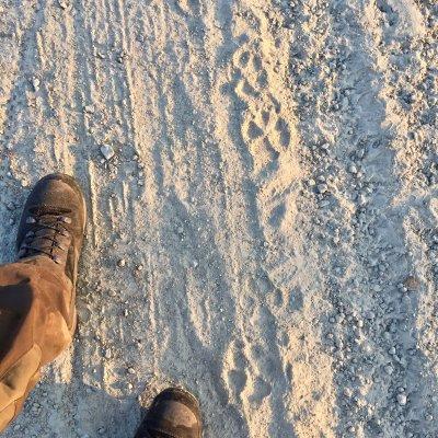 Fresh Wolf Footprints In The Bieszczady Mts, Eastern Carpathians