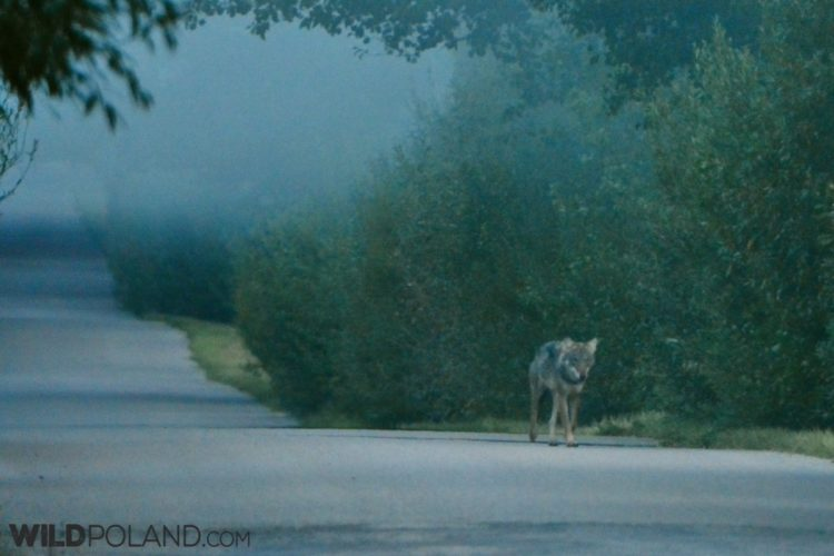 Wolf Outside Of The Białowieża Village, Photo By Shaun Crampton