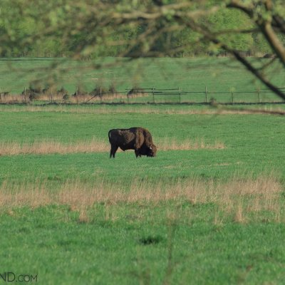 A Lone Bull Feeding On The Fresh Grass, Białowieża Forest, Photo By Andrzej Petryna
