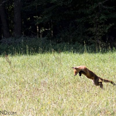 Red Fox In The Bialowieża Forest, Photo By Robert Farquharson