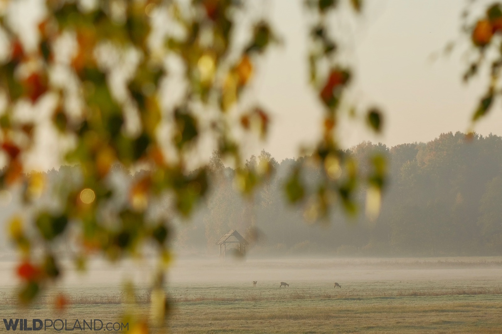 Misty autumn morning and roe deer at one of the Białowieża Forest meadows, photo by Andrzej Petryna
