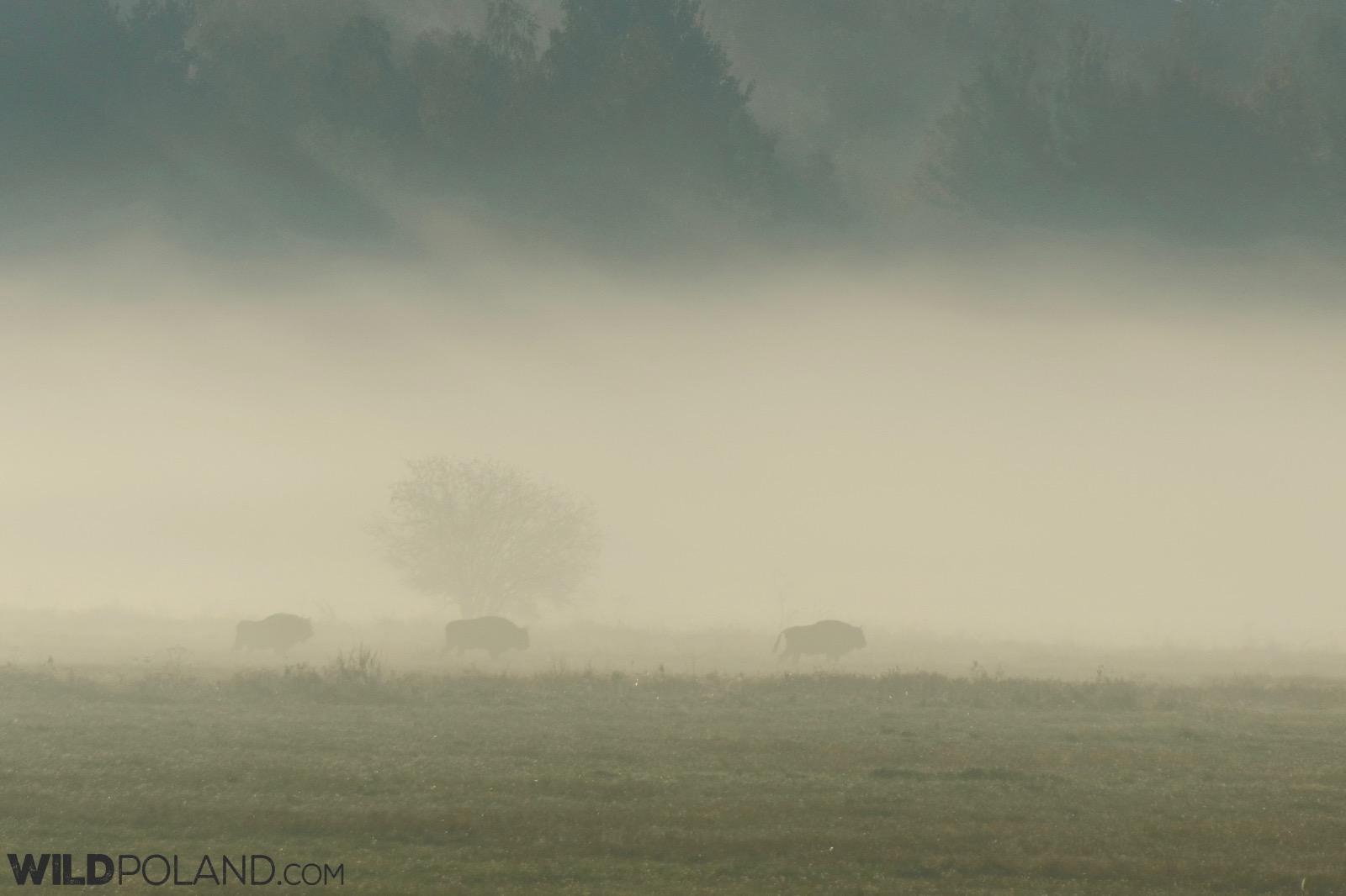 Wild Bison on a misty autumn morning, Białowieża Forest, photo by Andrzej Petryna