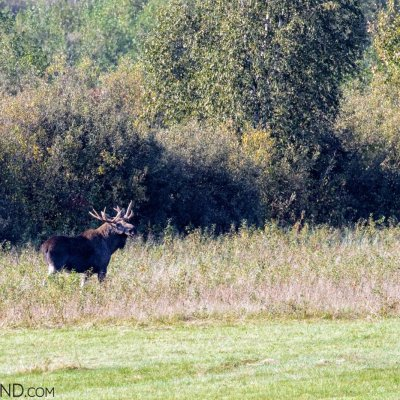 Elk (Moose) Bull In The Biebrza Marshes, Photo By Robert Farquharson