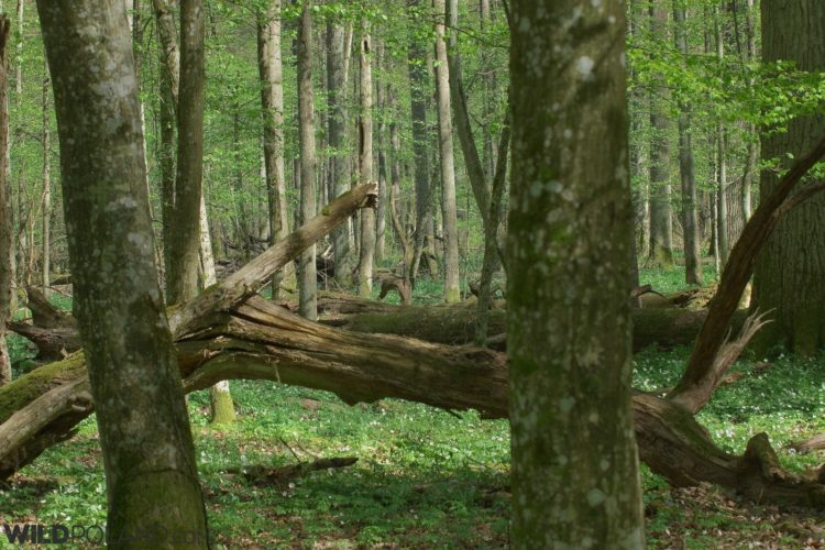Inside The Strictly Protected Area Of The Białowieża National Park, UNESCO World Heritage Site