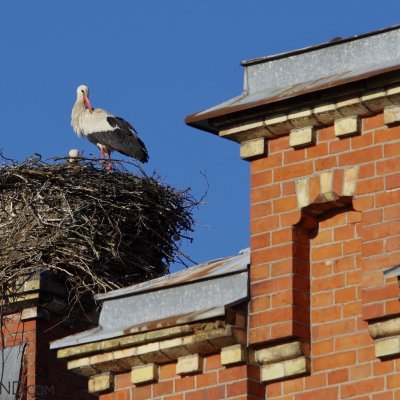 White Stork Nest At The Roof Of The Post Office In The Białowieża Village, Photo By Andrzej Petryna
