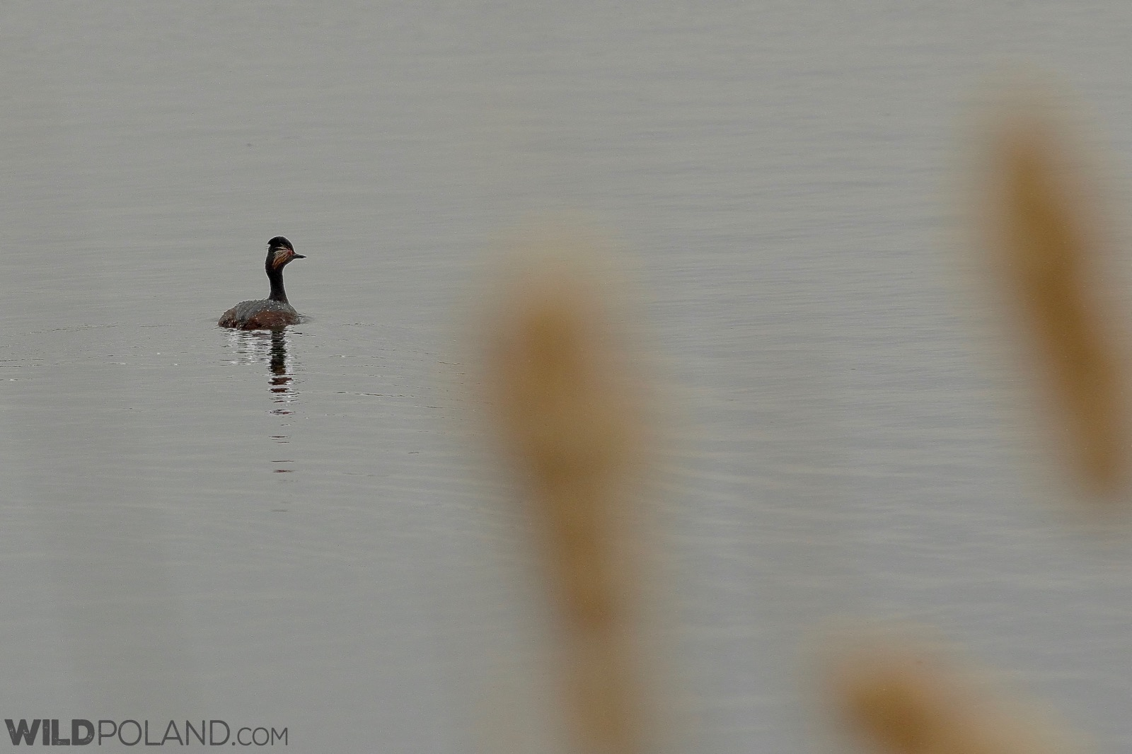Black-necked grebe at Dojlidy Fishponds