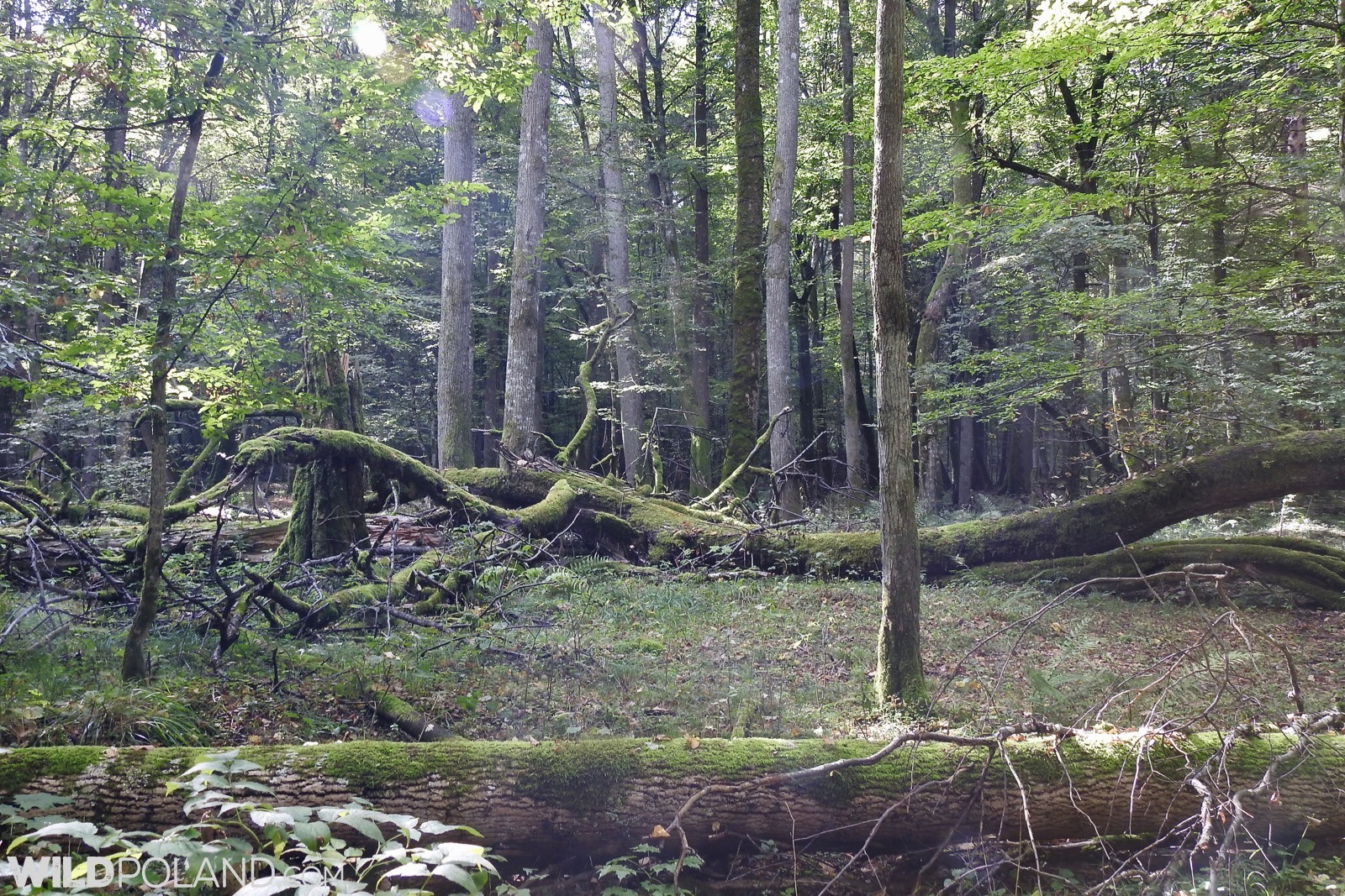 Inside Europe's last natural lowland forest, photo Marta Świtała