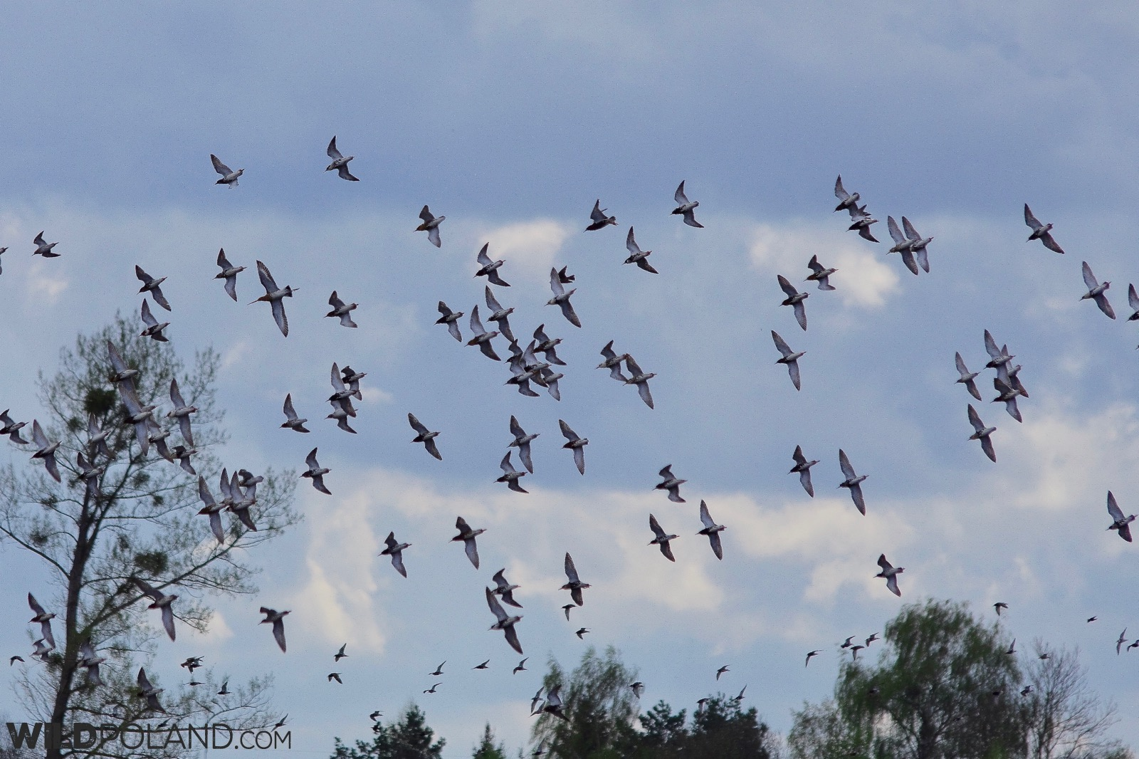Flock of ruffs over the wetlands