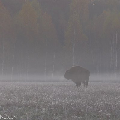 Bison Bull At The Outskirts Of The Białowieża Forest, Photo By Andrzej Petryna