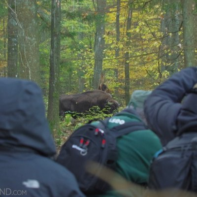 Wild Bison At Close, Białowieża Forest, Photo By Andrzej Petryna