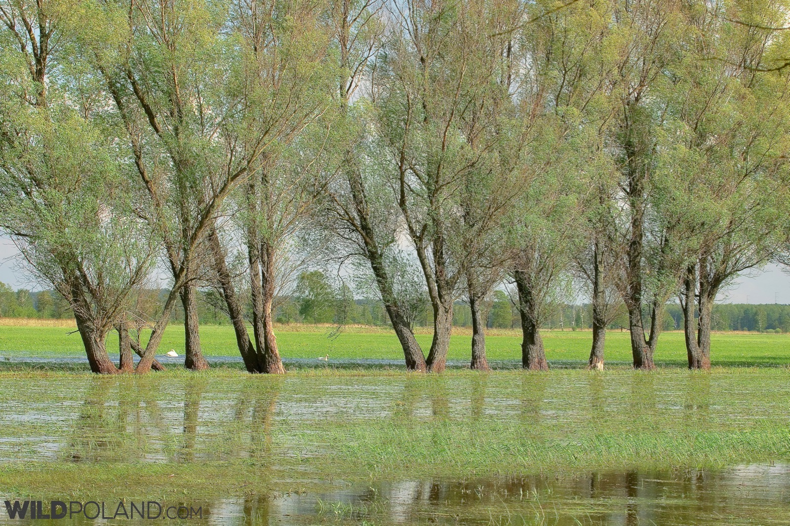 An extensive flooding at the Biebrza Marshes