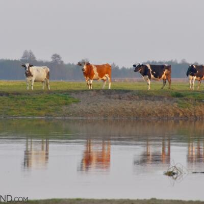Cows At Brzostowo Village, Biebrza Marshes, Photo By Andrzej Petryna