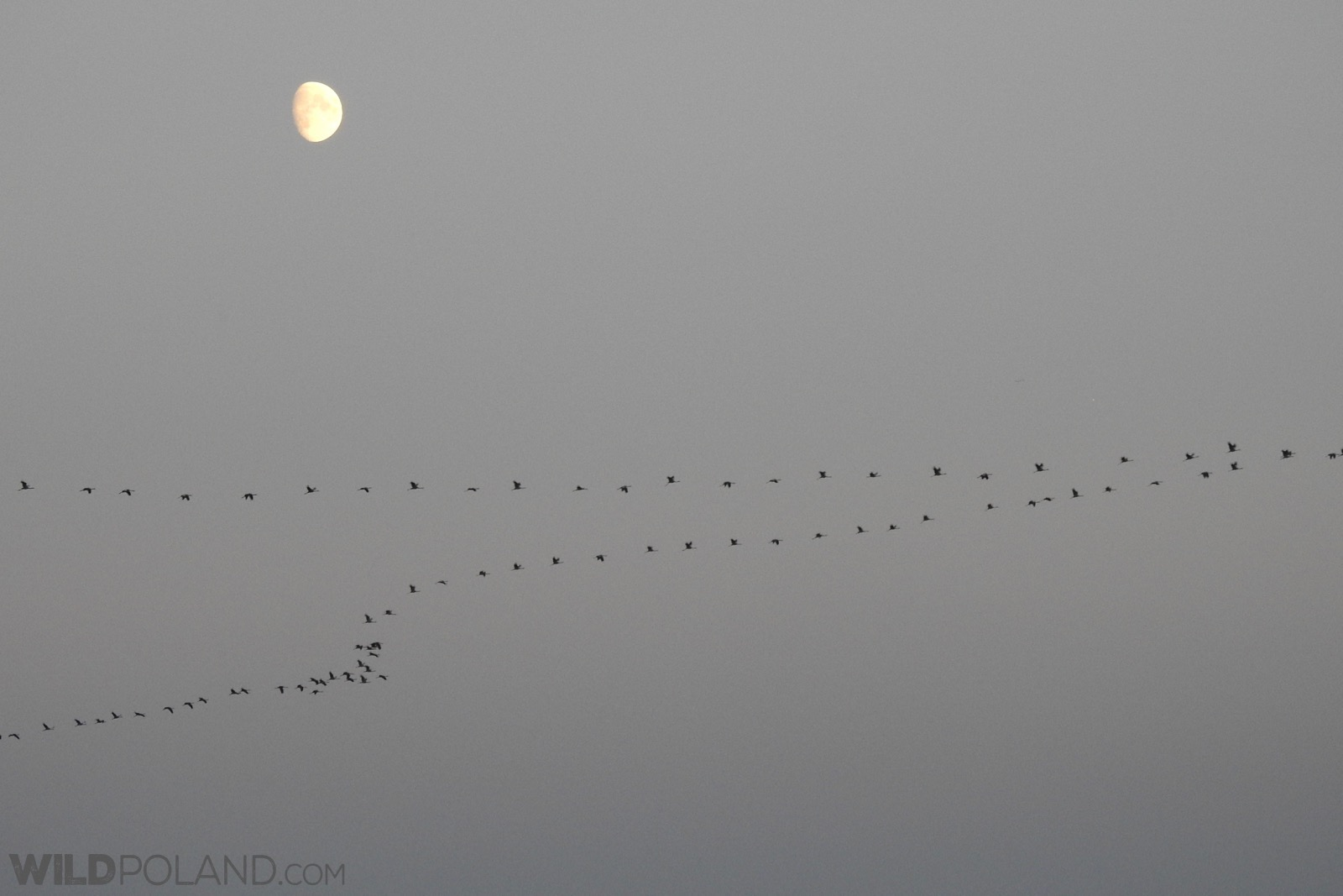 A flock of Common Cranes over the marshes, photo Marta Świtała