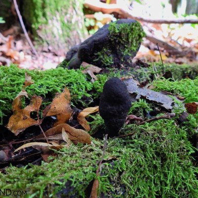 Dead Man's Finger (Xylaria Polymorpha) In The Strictly Protected Area Of The Białowieża NP, Photo By Marta Świtała