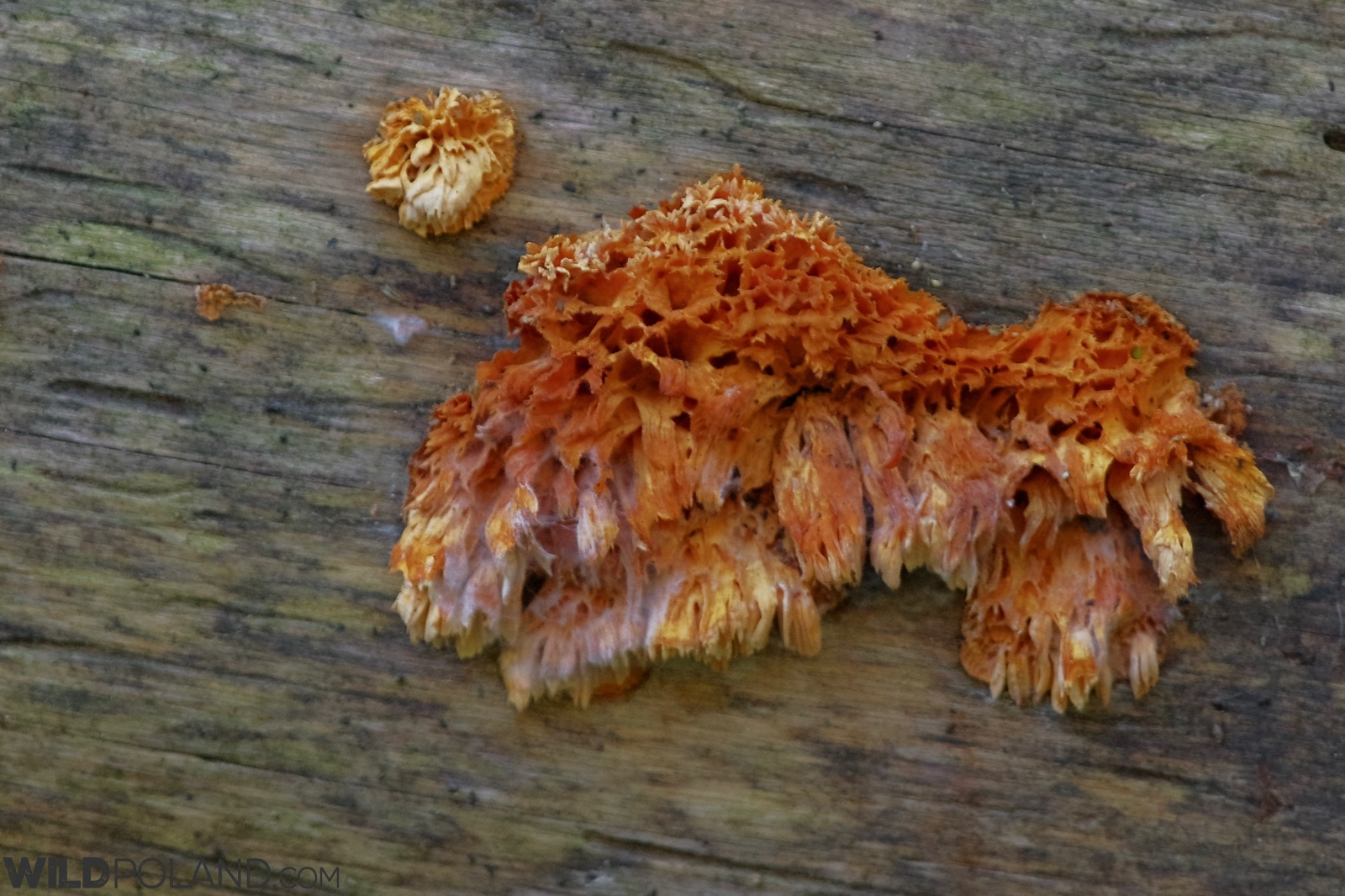Orange sponge polypore in the Strictly Protected Area of the Białowieża NP, photo by Andrzej Petryna