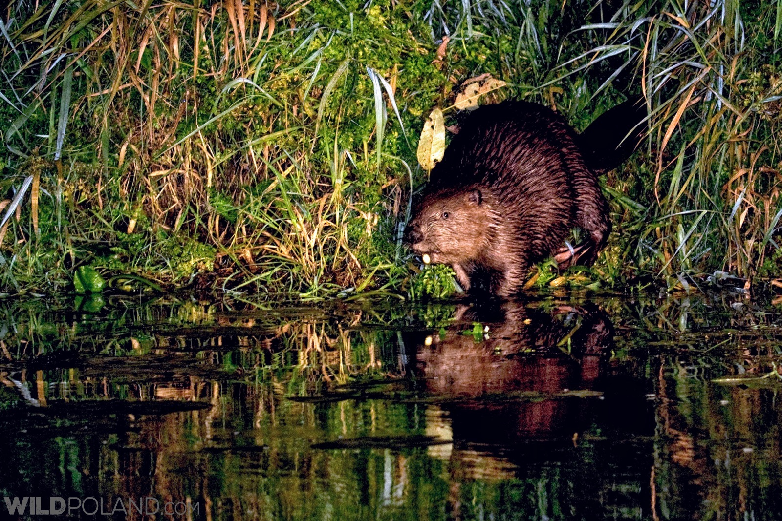 Ready to plunge, one of several Beavers we have seen during our boat trip, photo Robert Farquharson