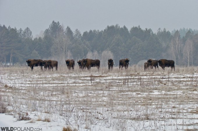 Bison Herd In The Białowieża Forest, Photo Bartosz Smyk