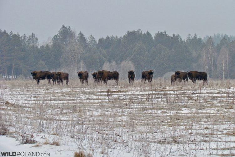 Bison Herd In The Białowieża Forest, Photo Bartosz Smyk