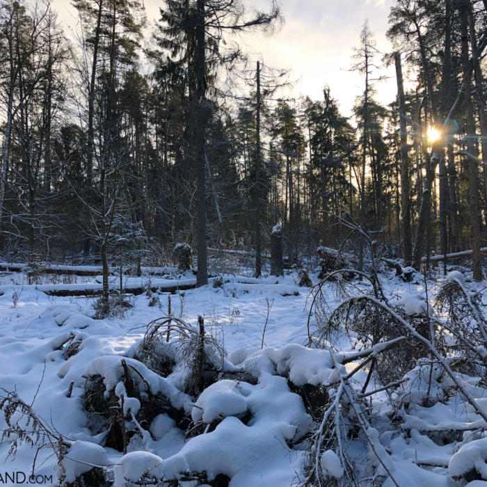 Białowieża Forest At Wintertime, 2019