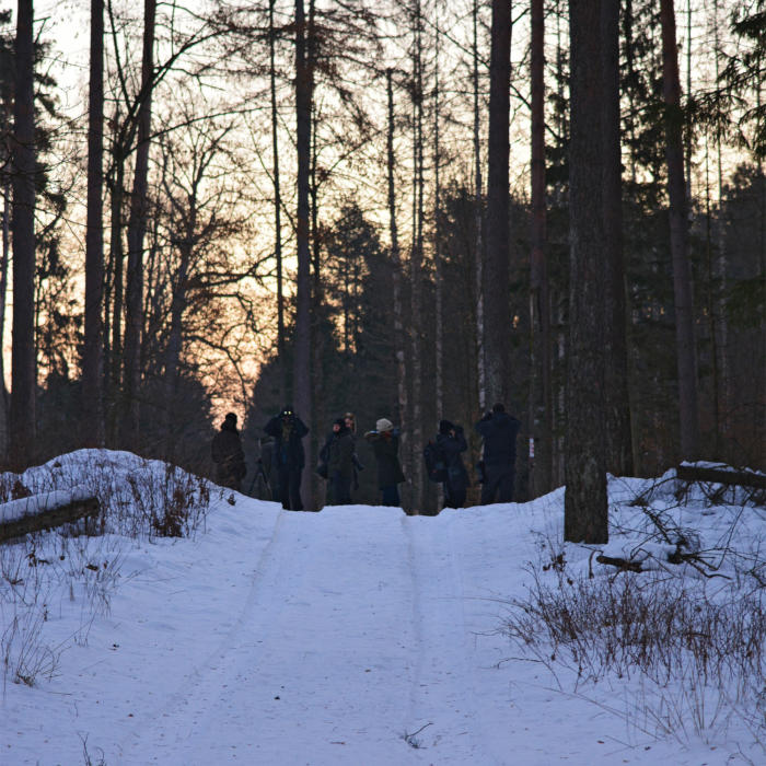 Wolf Tracking Trip At Dawn, Białowieża Forest