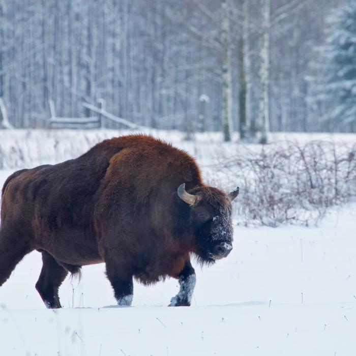 Bison In The Białowieża Forest By Łukasz Mazurek