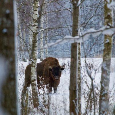 European Bison In The Białowieża Forest By Łukasz Mazurek