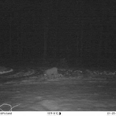 Lynx In The Białowieża Forest At Night. Camera Trap.