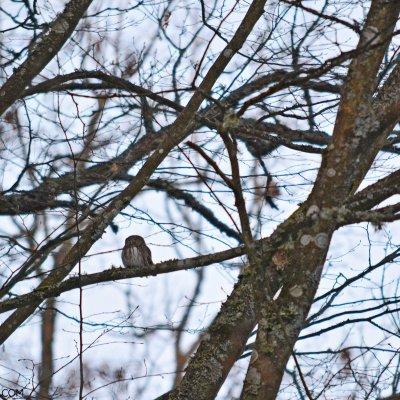Pygmy Owl In The Białowieża Forest By Michał Skierczyński.