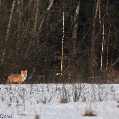 Red Fox In The Białowieża Forest By Joanna Smerczyńska