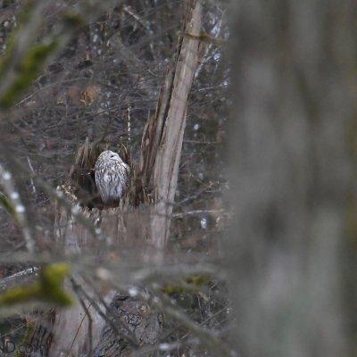 Tawny Owl In The Białowieża Forest By Irek Smerczyński