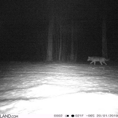 Wolf In The Białowieża Forest At Night. Camera Trap.